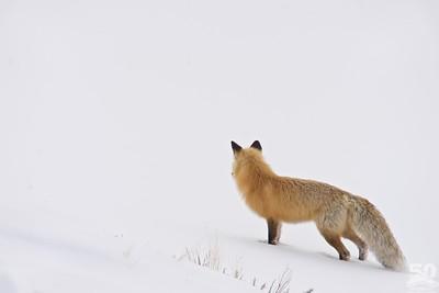 Dylan Klinesteker - Close Fox