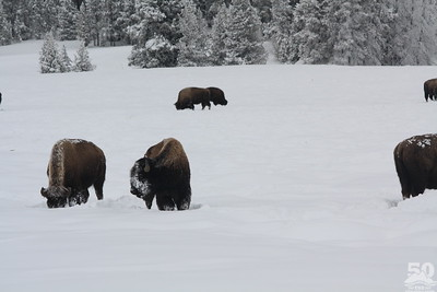 Chelse Grohman - Old Faithful Bison