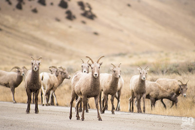 Dylan Klinesteker - Bighorn sheep returning to Miller Butte