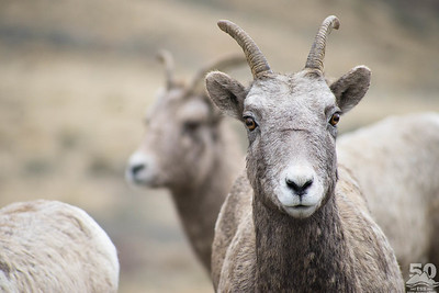Dylan Klinesteker - You looking at me bighorn sheep