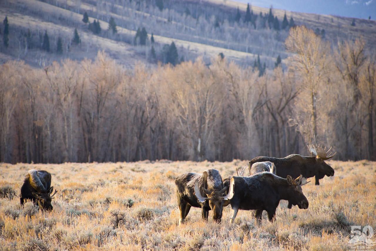Dylan Klinesteker - 5 bull moose with frosted backs