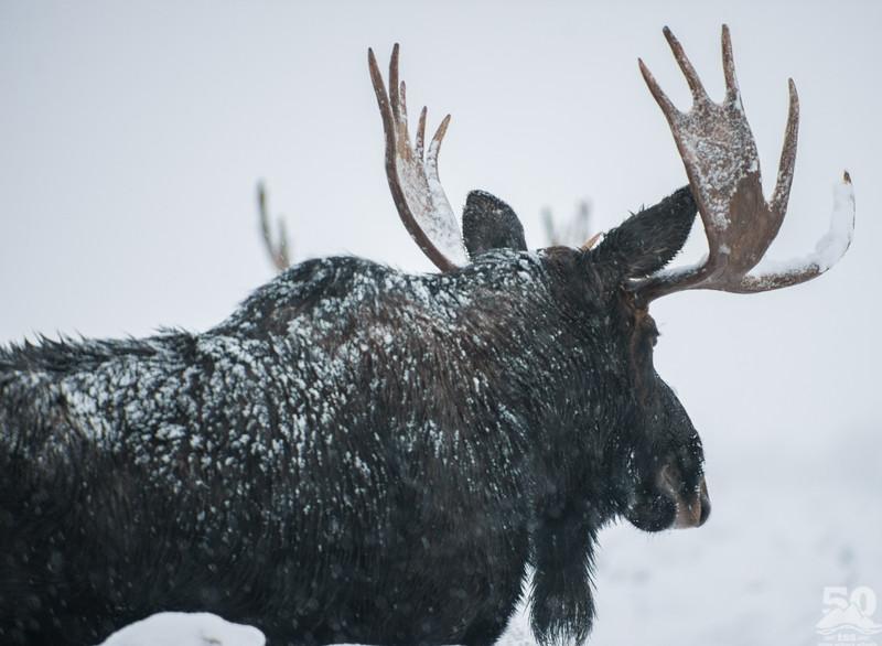 Dylan Klinesteker - Moose in a November snow