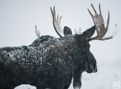 Dylan Klinesteker - Moose in a November snow