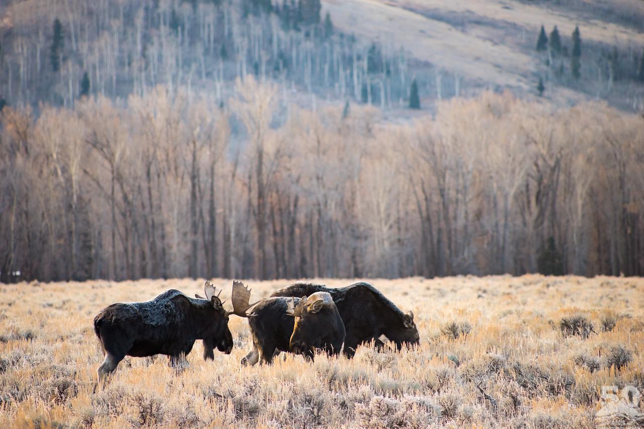 Dylan Klinesteker - Two moose squaring off, big antlers vs. little antlers