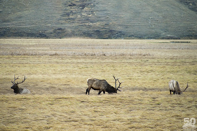 Dylan Klinesteker - Bull elk back on the National Elk Refuge