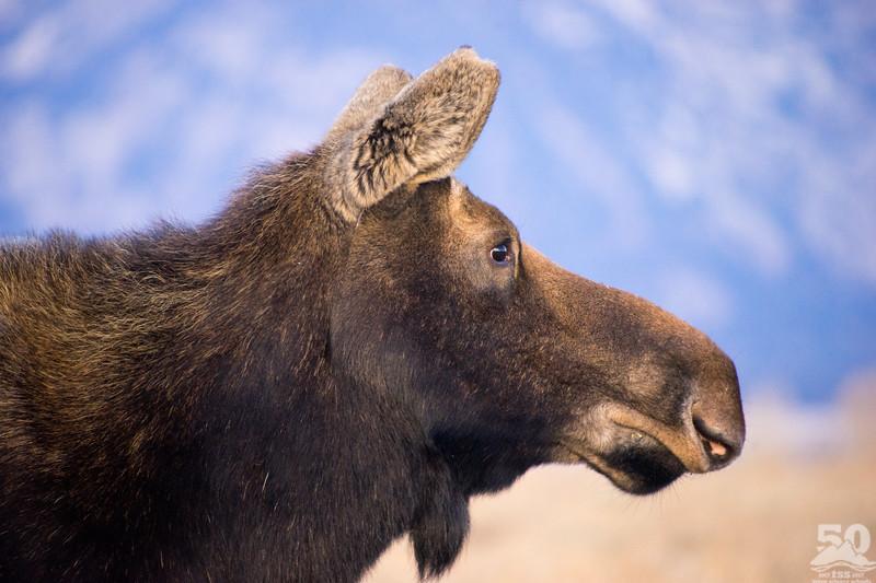 Dylan Klinesteker - Moose silouette listening forward