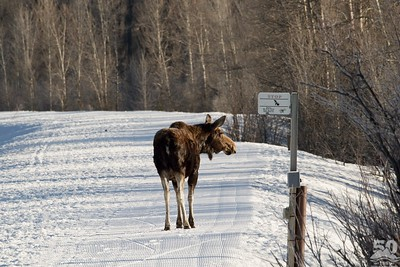 Sarah Ernst - Moose using Ski Track
