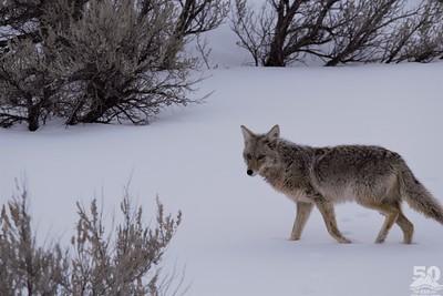Sarah Ernst - Cautious Coyote
