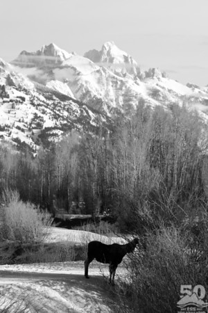 Sarah Ernst - Morning Moose and Tetons