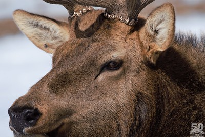 Sarah Ernst - Extreme Elk Closeup