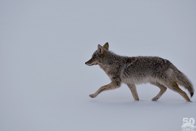 Sarah Ernst - Coyote at a Brisk Trot