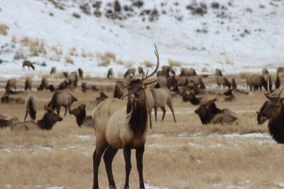 Jeff Mulligan- Goofy Elk