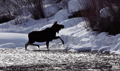 Sarah Ernst - Moose crossing the creek
