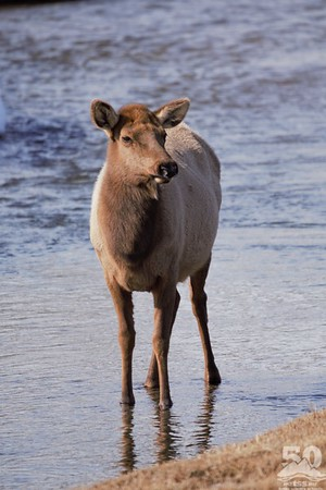 Sarah Ernst - Cow Elk in Flat Creek