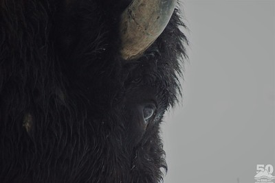 Sarah Ernst - Intimate Bison