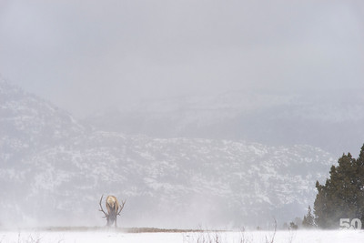 Dylan Klinesteker - Bull Elk On A Windy Day