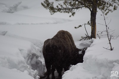 Sarah Ernst - Elderly, Skinny Bison up Warm Creek