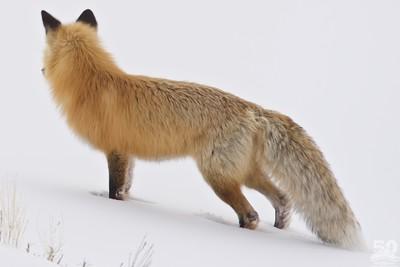 Dylan Klinesteker - Close Fox Zoomed