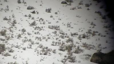 Sarah Ernst - Black Wolf Traveling on Punchy Snow