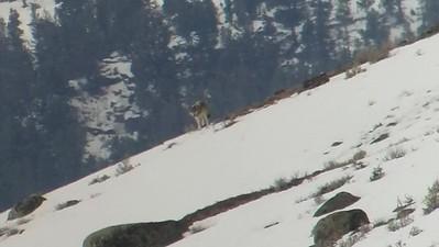 Sarah Ernst - Gorgeous Gray Wolf Walking on the Snow