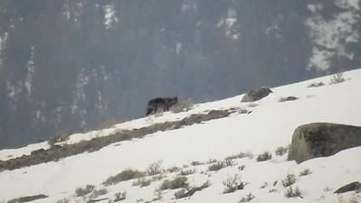 Sarah Ernst - Black Wolf Settling Down