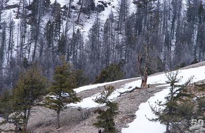 Dylan Klinesteker - Big Horned Under the Dead Tree
