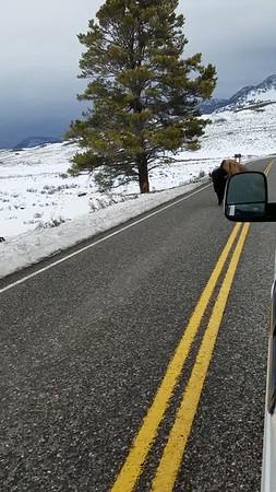 Sarah Ernst - Bull Bison Following Traffic Laws