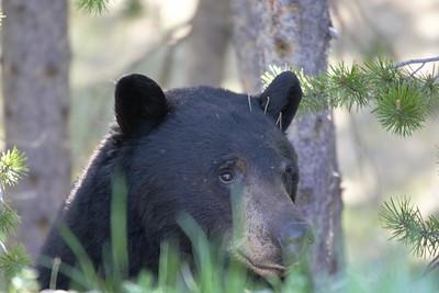 Sarah Ernst- Black Bear Peekaboo Side Profile