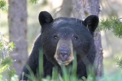 Sarah Ernst- Black Bear Peekaboo