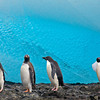 Adelie and Gentoo Penguins • Pingüinos de Adelia y P. Papúa • Pygoscelis adeliae & P. papua - Brown Bluff, Antarctica