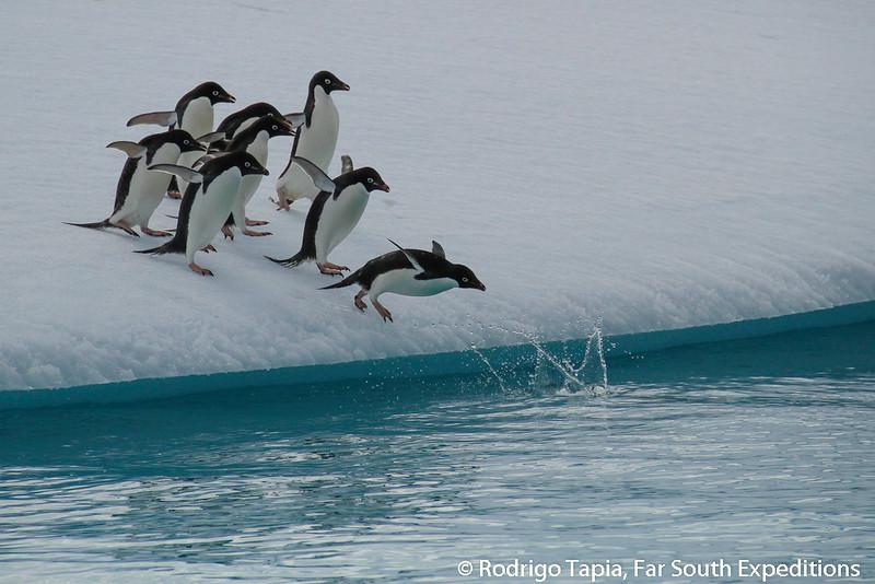 Adelie Penguin, Pingüino de Adelia (Pygoscelis adeliae)