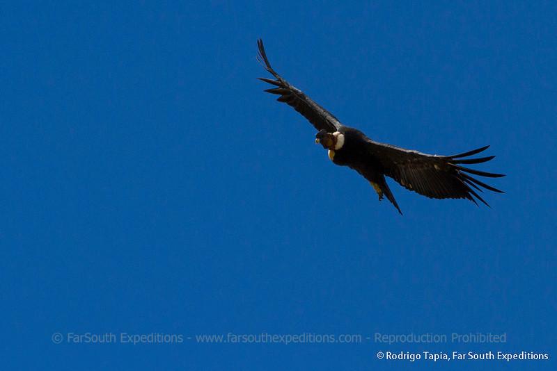 Andean Condor, Cóndor (Vultur gryphus)