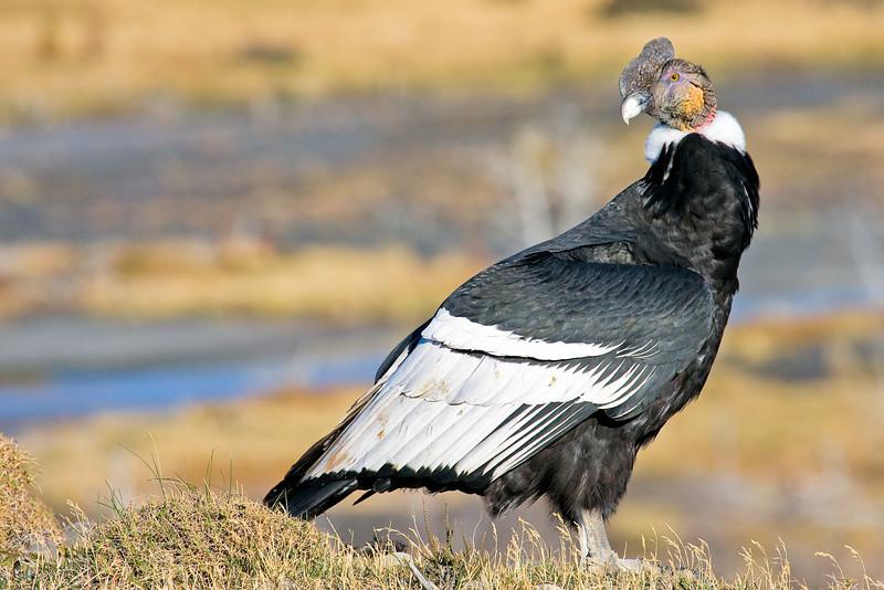 Andean Condor, Vultur gryphus, Torres del Paine, Patagonia, Chile