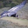 Andean Condor (Vulture gryphus), Estancia Olga Teresa, Río Verde, Magallanes, Chile