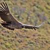Andean Condor (Vultur gryphus) juvenile