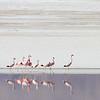 Andean Flamingo, Phoenicoparrus andinus & Puna Flamingo, Phoenicoparrus jamesi