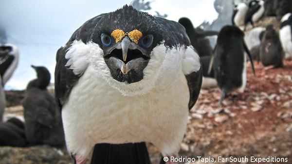 Antarctic Cormorant, Cormorán Antártico (Phalacrocorax bransfieldensis)