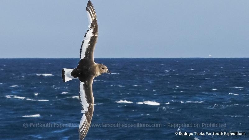 Antarctic Petrel, Thalassoica antarctica