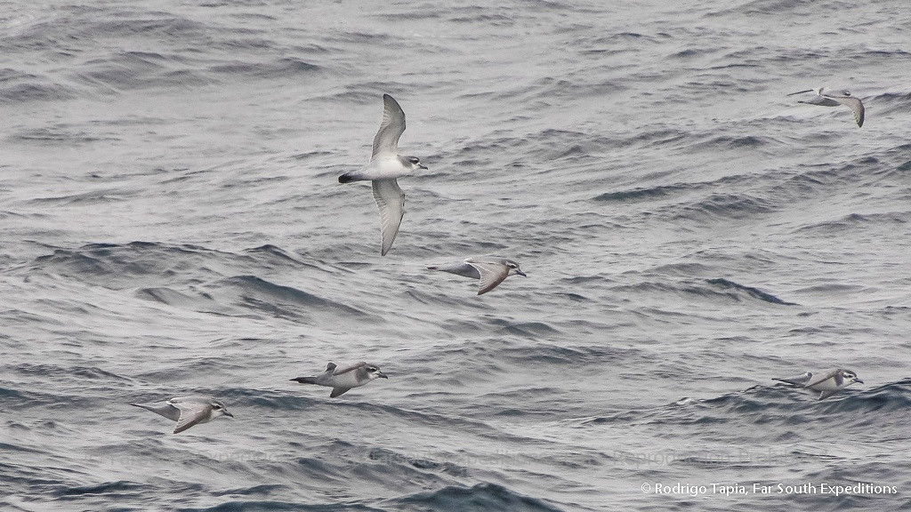 Antarctic and Slender-billed  prions, Pachyptila desolata & P. belcheri