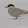 Antarctic Tern, Gaviotín Antártico (Sterna vittata)