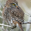 Austral Pygmy Owl, Torres del Paine, March 2017.