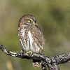 Austarl Pygmy Owl, Torres del Paine, March 2017.