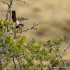 Band-tailed Earthcreeper, Patagón (Ochetorhynchus phoenicurus)
