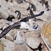 Black-browed Albatross (Thalassarche melanophrys), West Point Island, Falkland Islands / Islas Malvinas