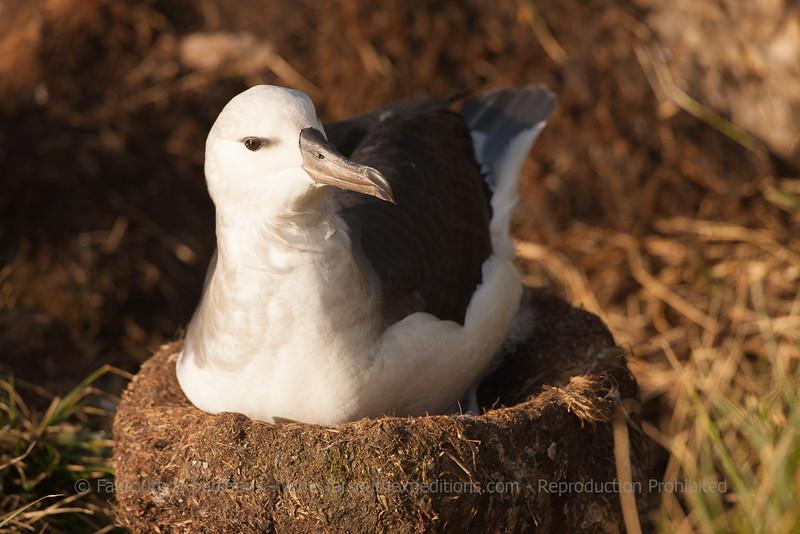 Black-browed Albatross • Thalassarche melanophrys