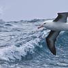 Black-browed Albatross, Thalassarche melanophris