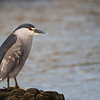 Black-crowned Night-Heron (Nycticorax nycticorax), Darwin, Falkland Islands