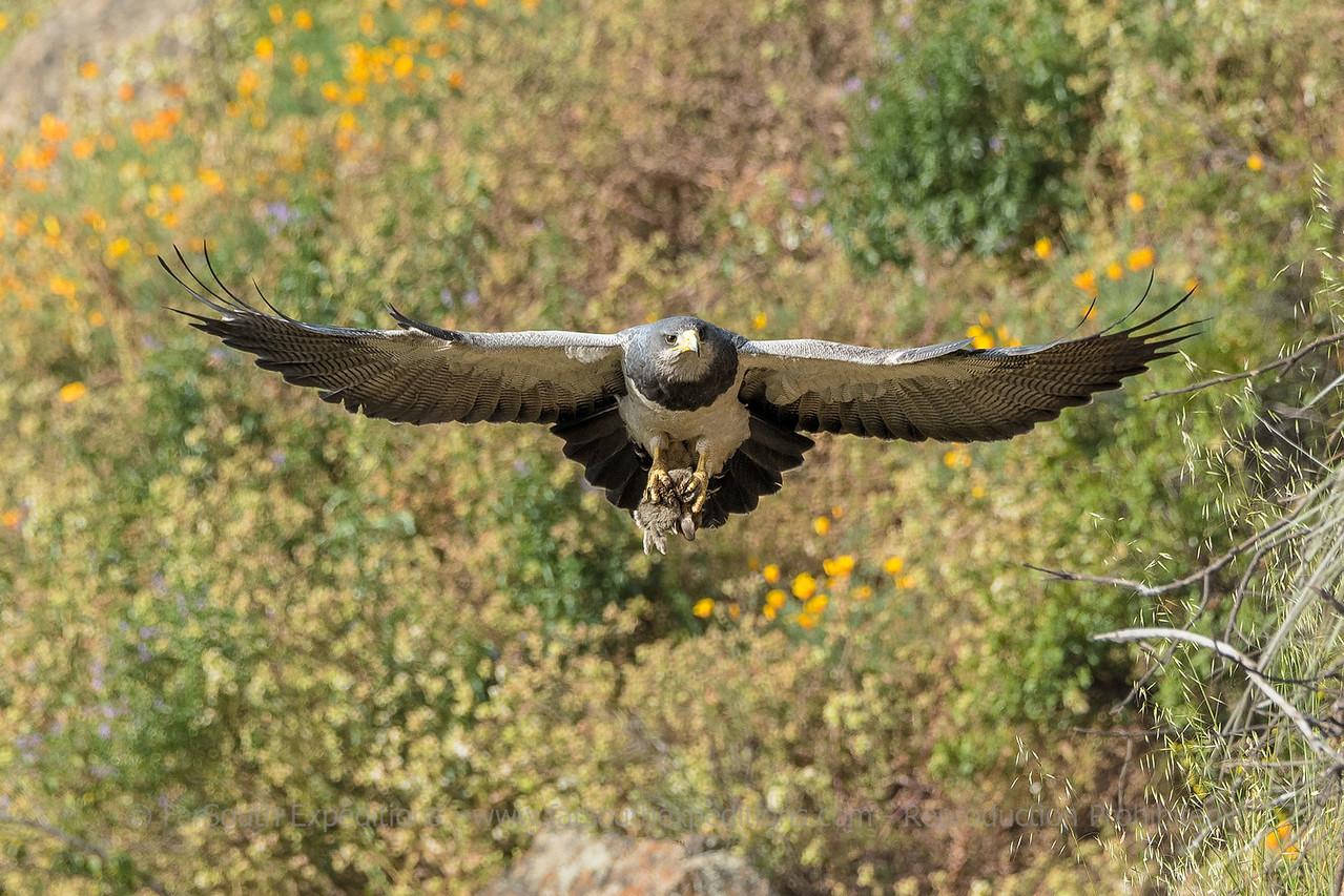 Black chested Buzzard Eagle.