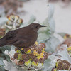 "Blackish Cinclodes (Cinclodes antarcticus), locally known as ""Tussockbird"", Carcass Island, Falkland Islands / Islas Malvinas"