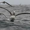 Buller´s Albatross, Albatros de Buller (Thalassarche bulleri)